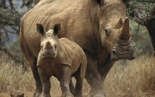 Photo free rhinoceroses, trees, horn