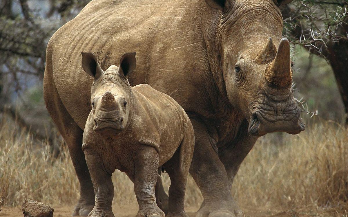 Фото бесплатно носороги, деревья, рог - на рабочий стол