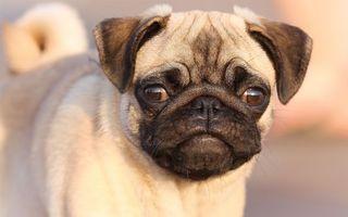 Обои пес, щенок, нос, голова, уши, глаза, язык, зубы, рот, лапы, хвост, собаки