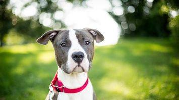Бесплатные фото пес,щенок,шерсть,окрас,порода,уши,ошейник