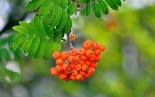 Заставки рябина,ягоды,дерево,ветка,зелень,листья,природа