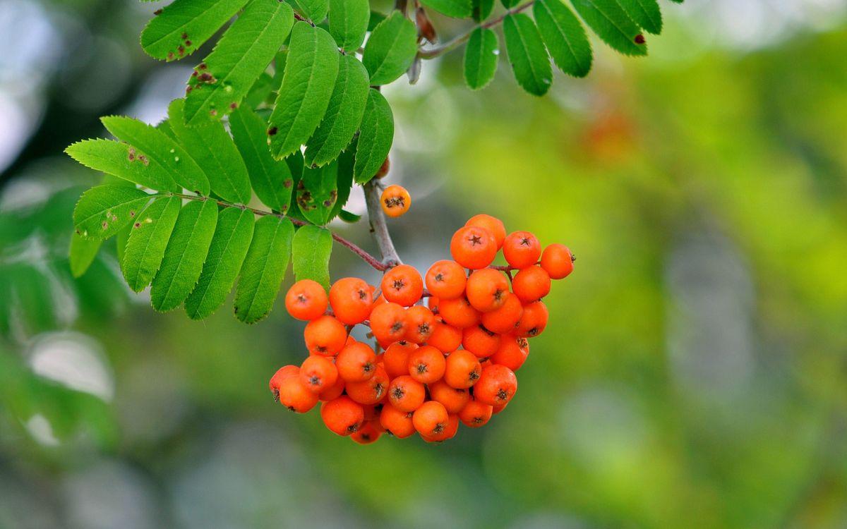Фото бесплатно рябина, ягоды, дерево - на рабочий стол