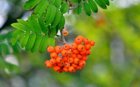 Photo free rowanberry, berries, tree