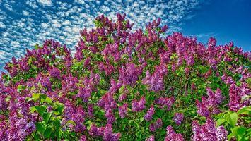 Заставки сирень,цветет,листья,ветки,небо,облака,природа