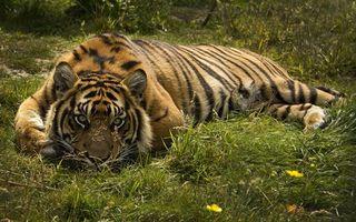 Заставки тигр, хищник, окрас