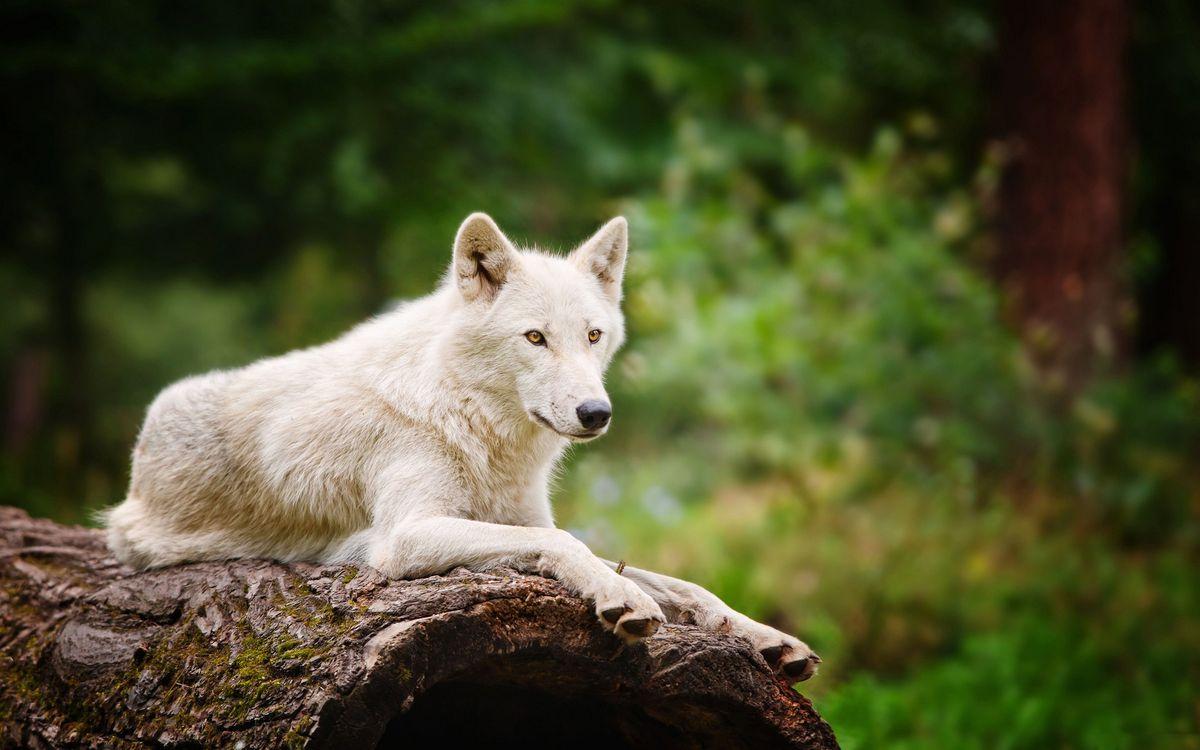 красивые фото белых волков еще