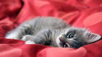 Фото бесплатно кот, серый, лежит