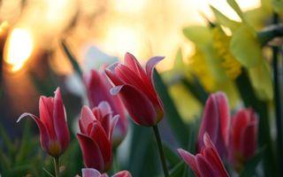 Бесплатные фото тюльпаны,лепестки,красные,цветы