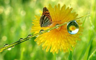Бесплатные фото бабочка,крылья,трава,капли,роса,одуванчик,усики