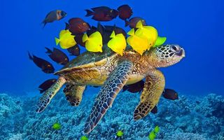 Фото бесплатно черепаха, панцирь, ласты, рыба, кораллы, риф, подводный мир