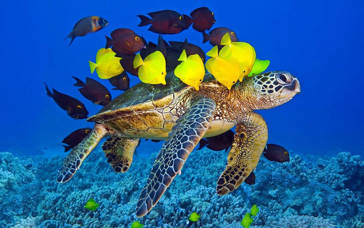 Фото бесплатно черепаха, панцирь, ласты, рыба, кораллы, риф, подводный мир, подводный мир