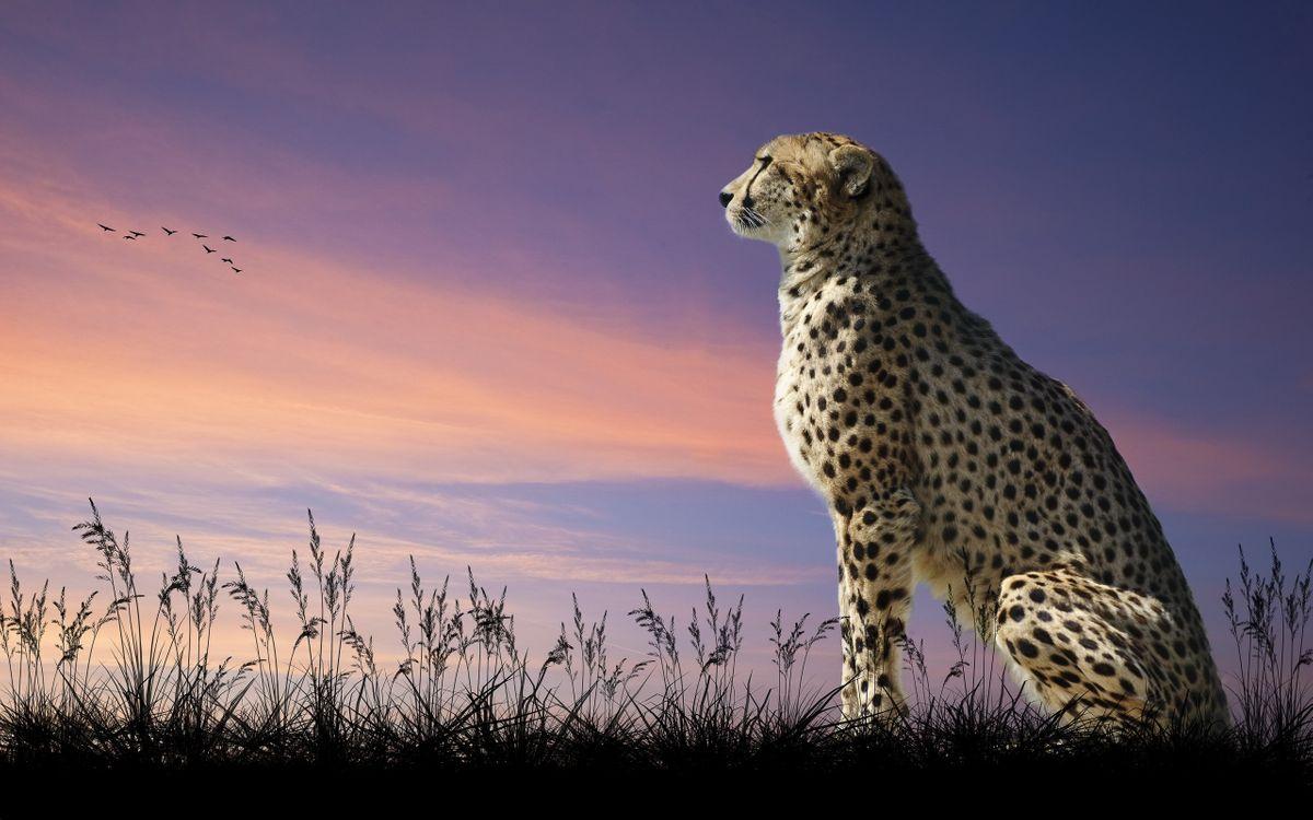 Фото бесплатно гепард, мечтатель, трава, небо, закат, птицы, кошки, кошки
