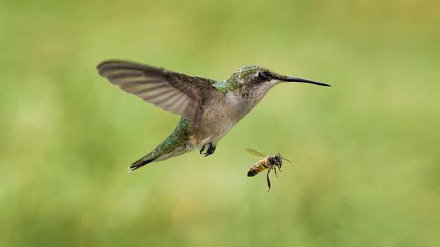 Фото бесплатно колибри, клюв, крылья