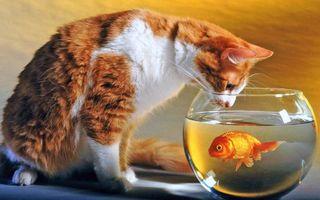 Фото бесплатно кот, аквариум, рыба