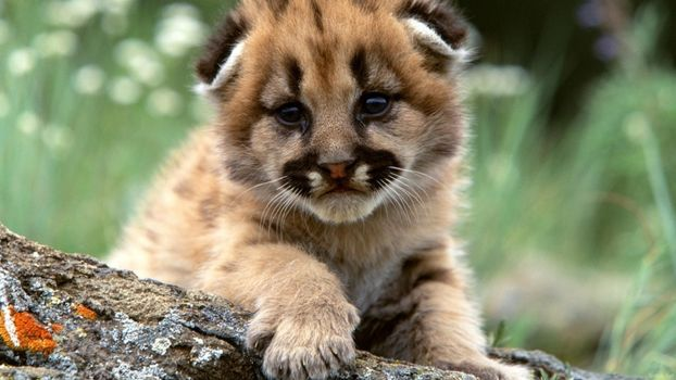 Заставки котенок, леопард, маленький