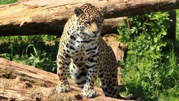 Обои леопард, взгляд, шерсть, нос, хищник, дерево, животные