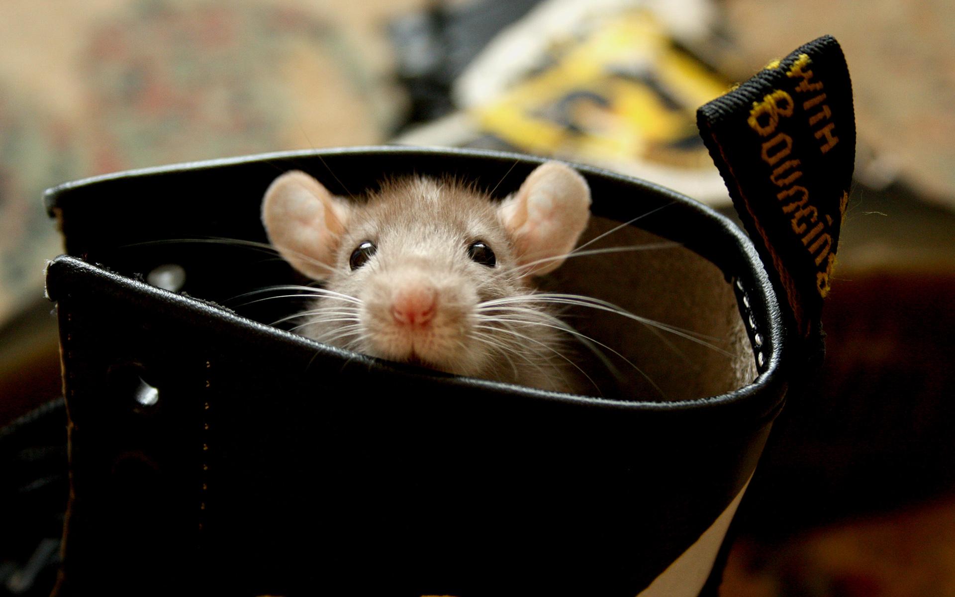 ним успели крысы фото на рабочий стол мифические времена