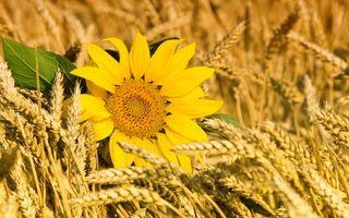 Бесплатные фото подсолнух,поле,пшеница,колоски,лепестки,листья,лето