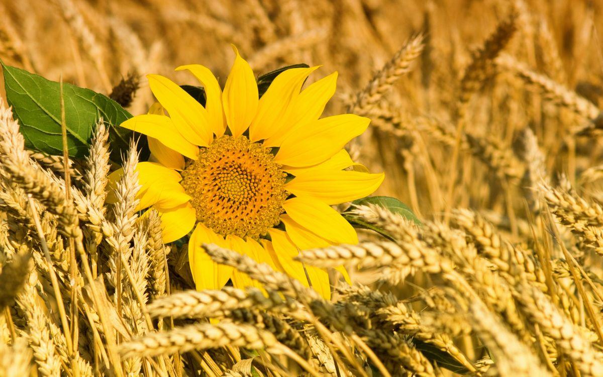 Фото бесплатно подсолнух, поле, пшеница, колоски, лепестки, листья, лето, цветы, цветы
