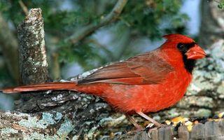 Фото бесплатно птичка, красная, перья