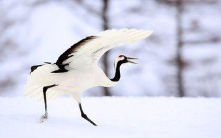 Обои птица, крылья, белая, голова, перья, большая, высокая, длинная, шея, лапы, ноги, зима