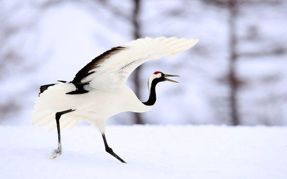 Заставки птица, крылья, белая