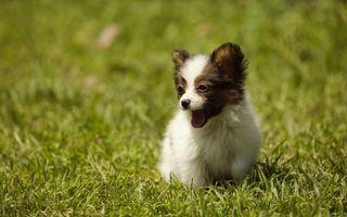 Фото бесплатно луг, щенок, уши маленькие