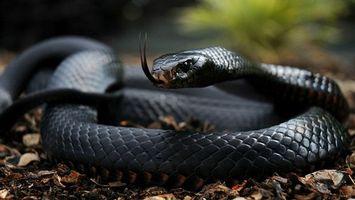 Бесплатные фото змея,черная мамба,глаза,язык,шкура,чешуя,животные