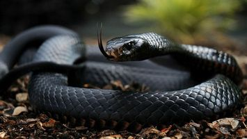 Photo free snake, black mamba, eyes