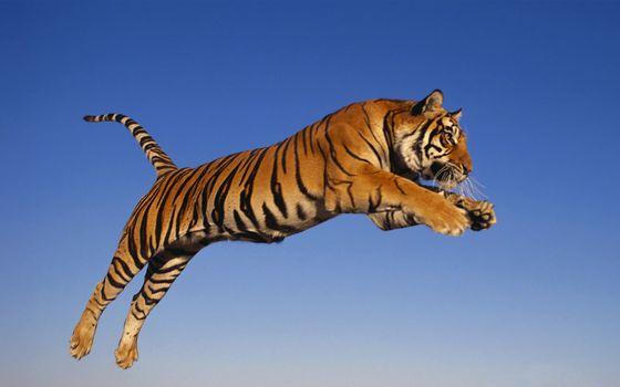 Фото бесплатно хищник, прыжок, тигр