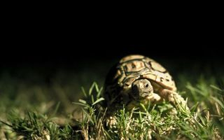 Фото бесплатно черепаха, трава, макро