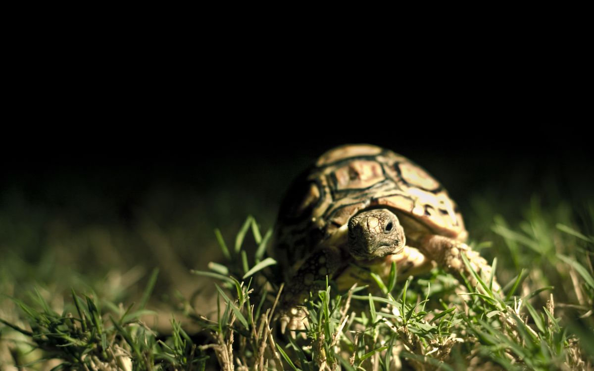 Фото черепаха трава макро - бесплатные картинки на Fonwall