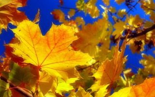 Фото бесплатно клен, листья, осень