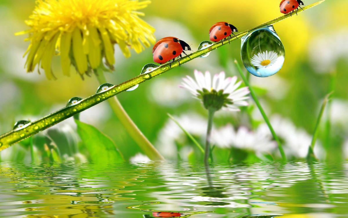 Фото бесплатно божья коровка, цветы, вода, отражение, одуванчик, капли, ромашка, стебель, насекомые, природа, природа