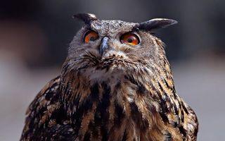 Бесплатные фото филин,взгляд,удивленный,глаза,уши,птицы,ситуации