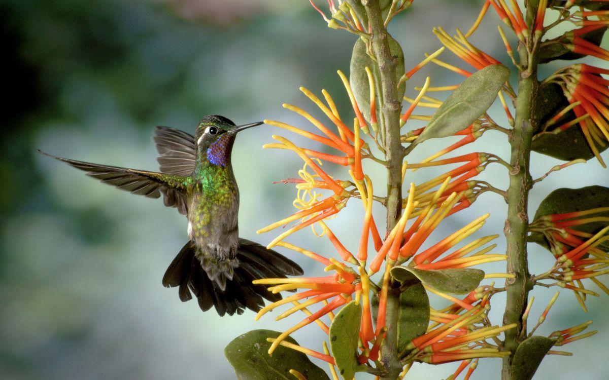 Фото бесплатно колибри, маленькая, птичка - на рабочий стол