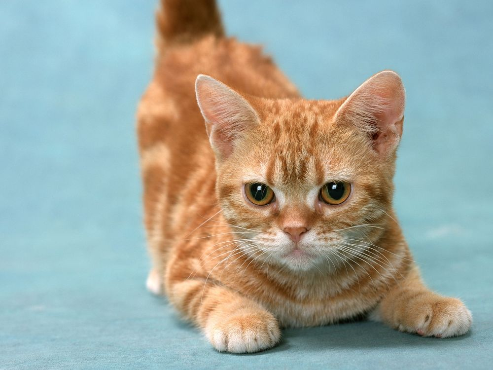 Фото бесплатно кот, котенок, маленький, полосатый, рыжий, шерсть, пушистый, уши, усы, глаза, взгляд, лапки, кошки, кошки