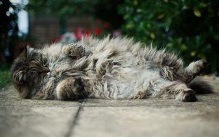Бесплатные фото кот,пушистый,шерсть,окрас,порода,лапы,хвост
