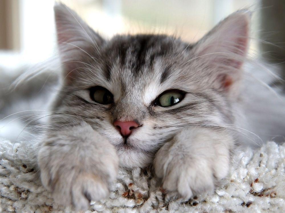 Фото бесплатно котенок, пушистый, светло-серый - на рабочий стол