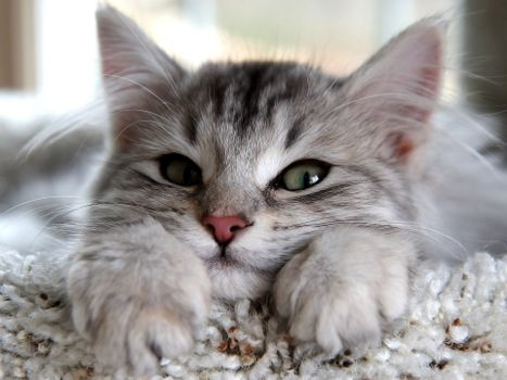 Photo free kitten, fluffy, light gray