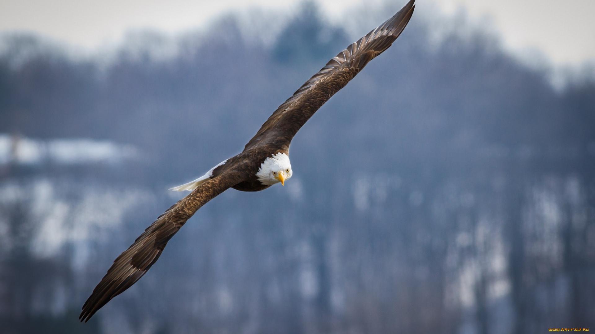 белоголовый орлан, крылья, голова