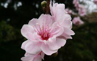 Бесплатные фото лепестки,розовый,нежный,пестики,тычинки,фон,цветы