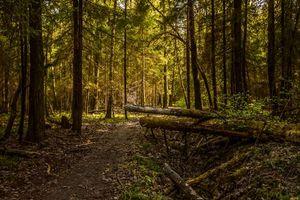 Фото бесплатно лес, дорога, чаща