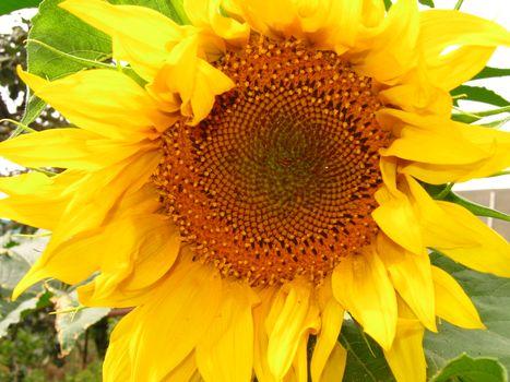 Бесплатные фото подсолнух,цветок,желтый,лето,настроения,природа