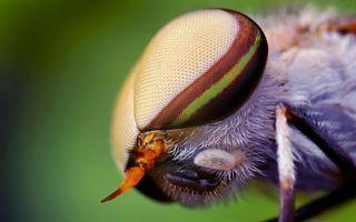Фото бесплатно муха, фасеточные, глаза