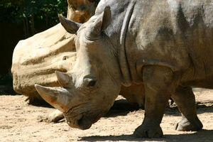 Фото бесплатно носорог, рог, уши, глаза, пенек, песок, животные