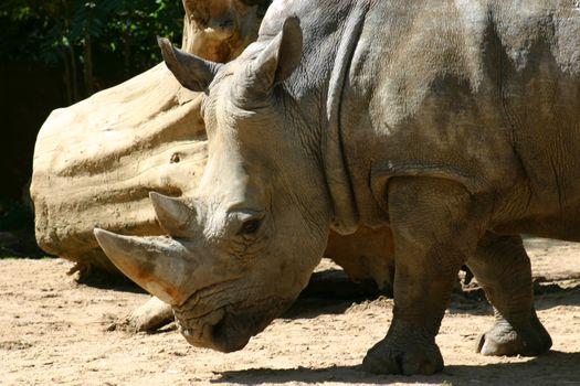 Бесплатные фото носорог,рог,уши,глаза,пенек,песок,животные