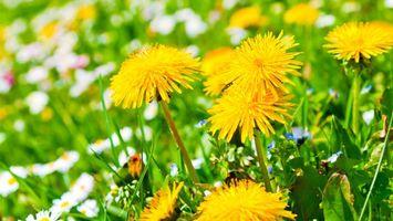 Бесплатные фото одуванчики,поле,лепестки,стебли,листья,лето,цветы