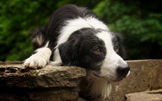 Заставки пес, дворняжка, лежит