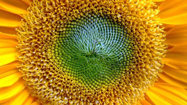 Фото бесплатно подсолнух, желтый, красивый, яркий, близко, зеленый, еда